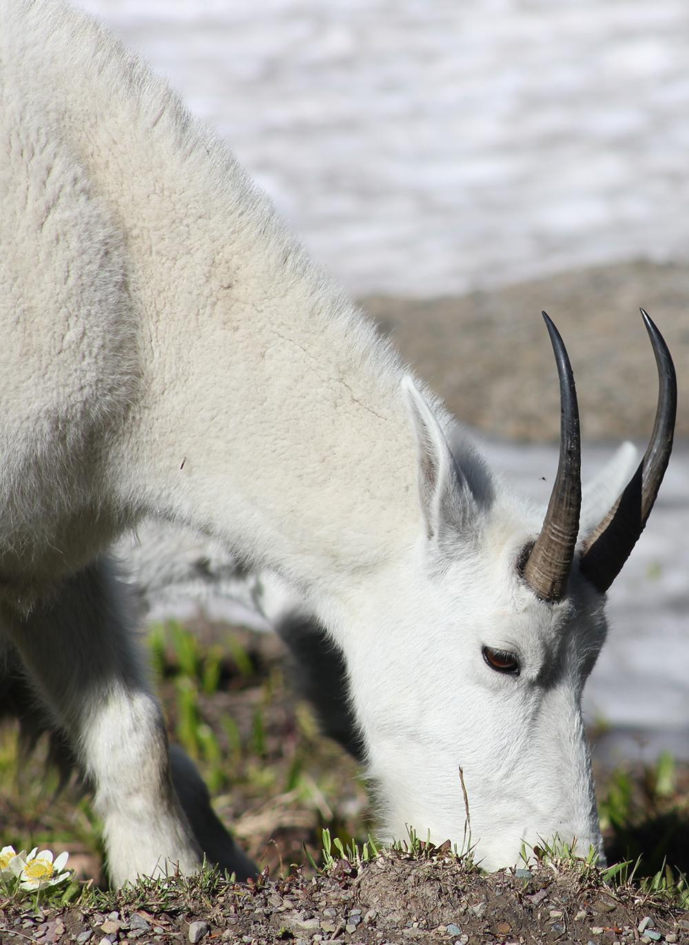 Glacier Park Logan Pass Goat